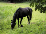 Cavallo Sandy - ( (2 anni))