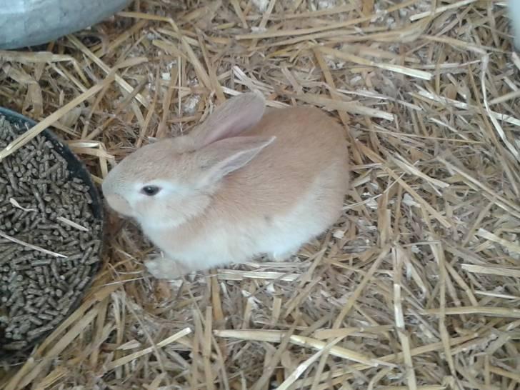 Coniglio nano Lala - ()