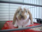 Coniglio Nougat - ( (2 mesi))