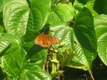 Farfalla butterfly - ( (Altro))