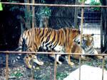 Tigre Tigger - ()