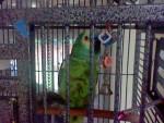 Uccello Baba - Maschio ( (Altro))