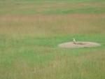 suricate dans son milieu naturel - (3 anni)