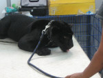 pantera negra - Maschio (3 anni)