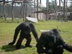 Chimpanzés -